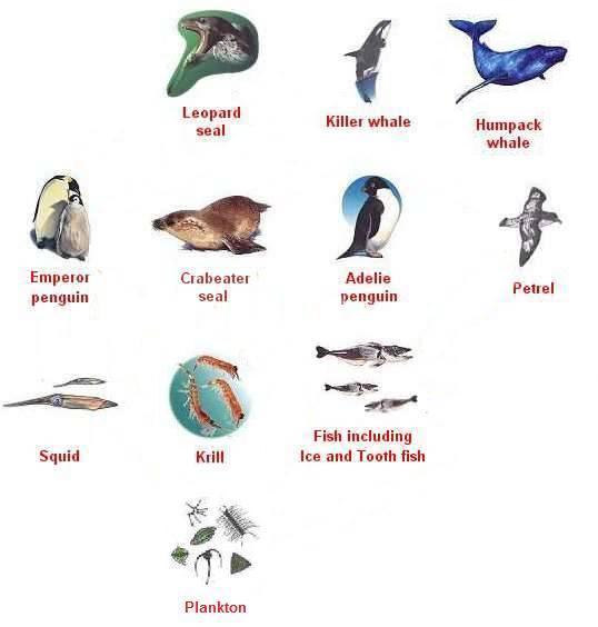 Antarctic animals food chain for Antarctic cuisine